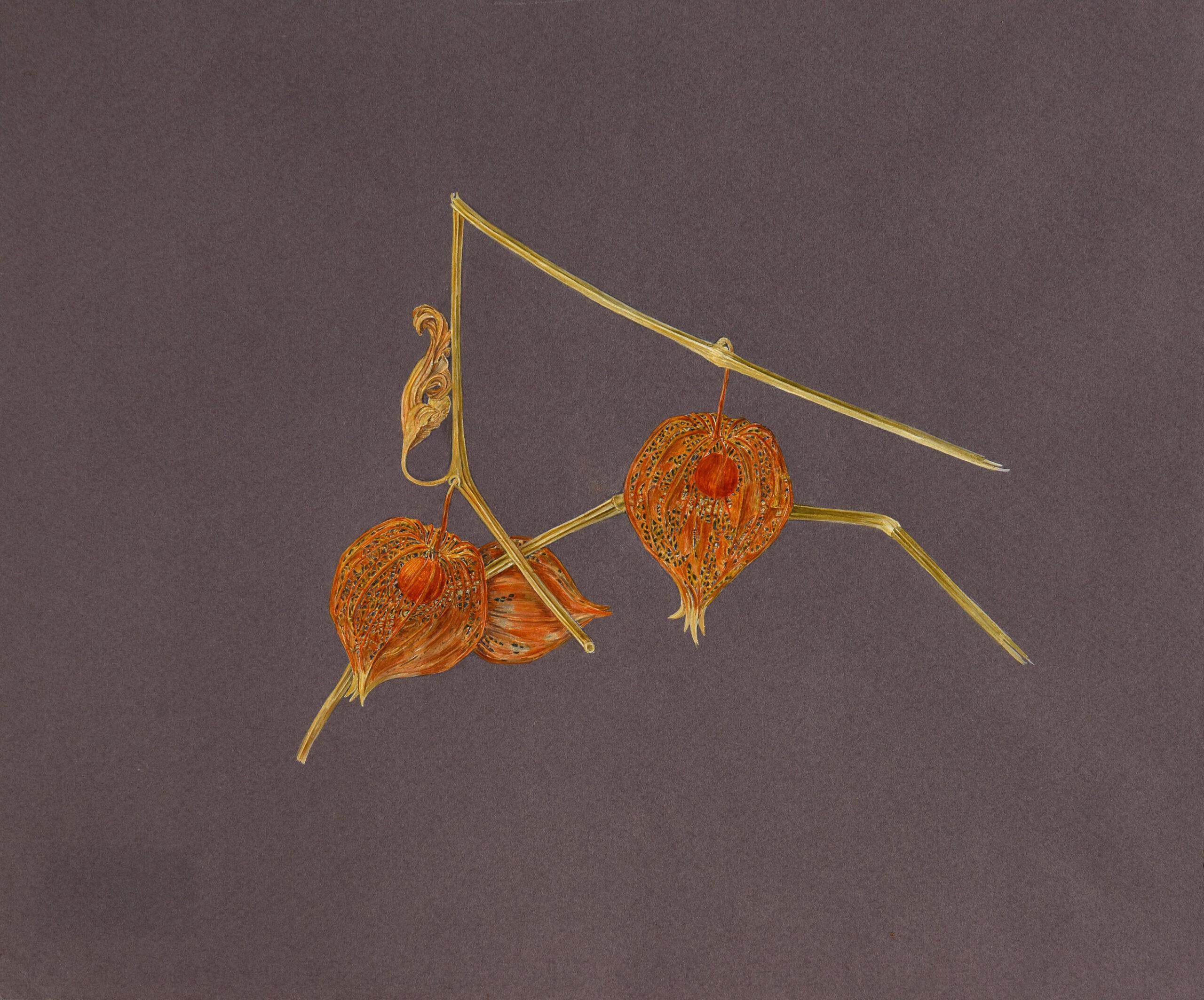 Alchechengi seccotecnica mista: acquerello e tempera su carta