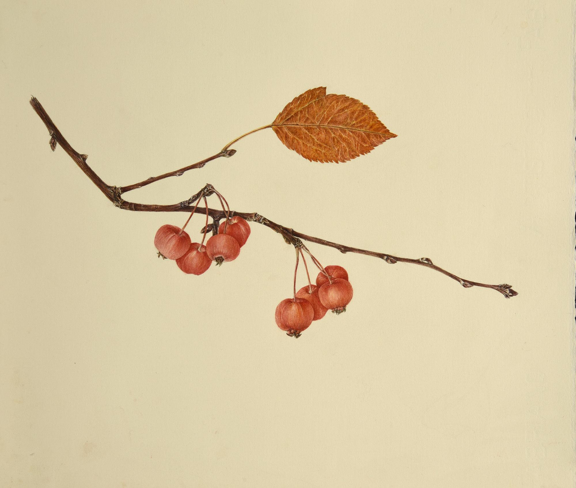 Rametto di meline ornamentaliacquerello su carta