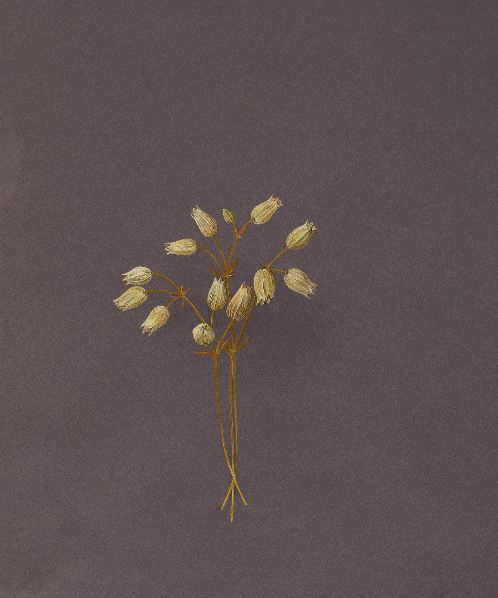 Silene d'autunnotecnica mista: acquerello e tempera su carta