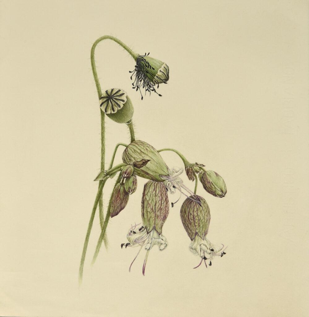 silene-e-papaveri–acquerello-su-carta-2483